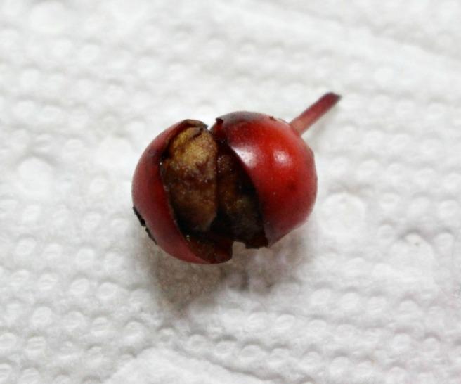 hollytreeberrydis1